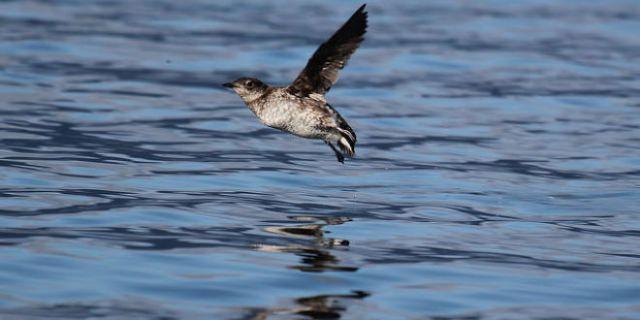 rceni -Muerte masiva de aves -costa - del pacifico -de-EEUU