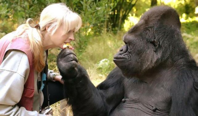 rceni -Muere Koko - la gorila-que-hablaba-