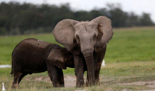rceni - Elefantes sin colmillos - estan- naciendo -por- culpa -del -tráfico -de- marfil-