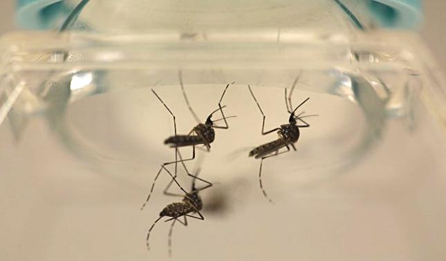 rceni - Mosquitos - modificados -seran- liberados- en- eeuu -contra- el -dengue- y- zika-