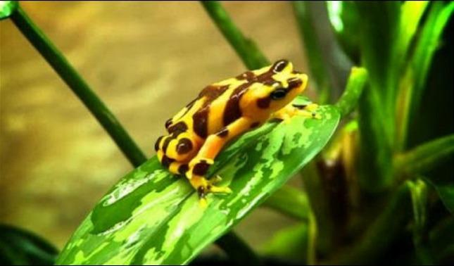rceni - Ranas doradas- de -Panama -descubren -hongo -mortal -que -las- ataca-