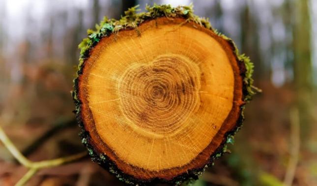 rceni - Anillos de los árboles -podrían -tener -pistas -sobre- impacto- de- supernovas -