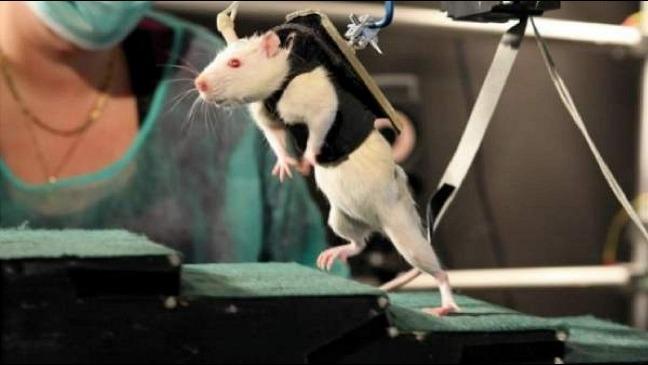 rceni - Ratones paralíticos -cientificos -alemanes- logran -que -vuelvan- a -caminar-